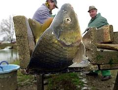 Ide tűnnek a hazai halak