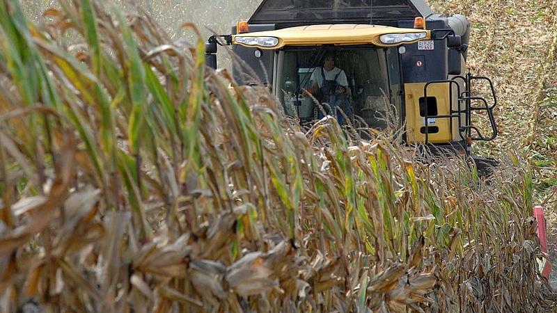 Nagy a nyomás a kukoricán - már érződik a hatása