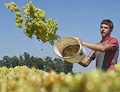 Elkezdődött a szüret - jó évjáratot várnak a magyar borászok