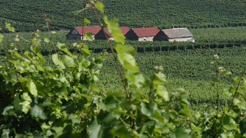 Bajba kerülhet több magyar borász