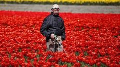 Katasztrófa az öszeomlásban: meghalnak a tulipánok