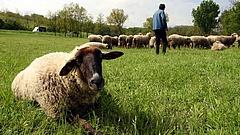 Koronavírus: bajban vannak a kecsketartók és a juhászok