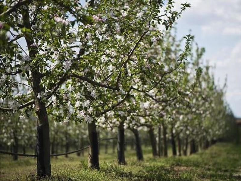 Baj van az almaültetvényeknél