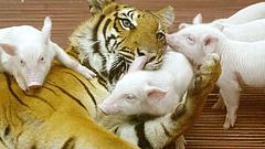 Több száz tigris, puma, kobra magánkézen