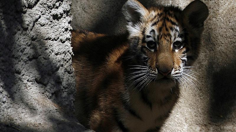 Tigrisek életveszélyben a kelet-európai pusztán