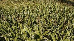 Leállt a kukorica aratása