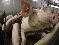 Csökken az áfa, olcsóbb lesz-e a disznóhús? (Bővítve)