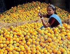 Elszállt a narancs ára a hurrikán miatt