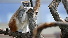 Aggasztja a majmok etikátlan dolgoztatása? - akkor a thaiföldi kormány lépésének örülni fog