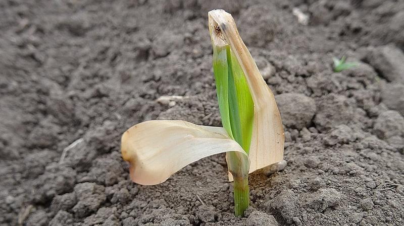 A kukoricát sem kímélte a tavaszi fagy