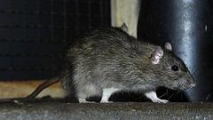 Elszaporodtak Budapesten a patkányok