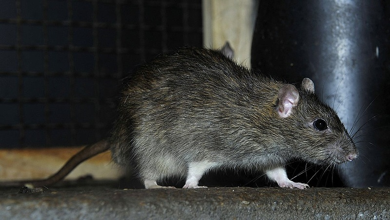 Patkányok a Deák téren
