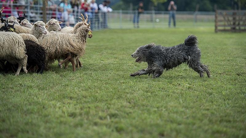 Hatóság mondja meg, ki lehet magyar kutya tenyésztő