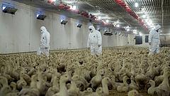 Madárinfluenza: már négyszázezer állatot öltek le