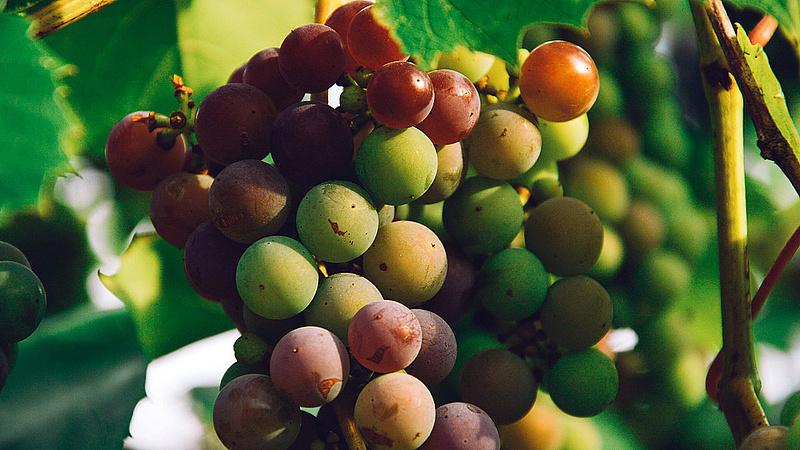 Jó évjáratra számítanak a villányi bortermelők