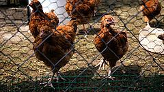 Jobb félni, mint megijedni a madárinfluenzától