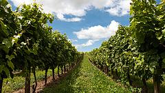 Gondok a magyar szőlő- és borértékesítésben
