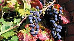 Már megjelentek a szőlőgyilkos kabócák
