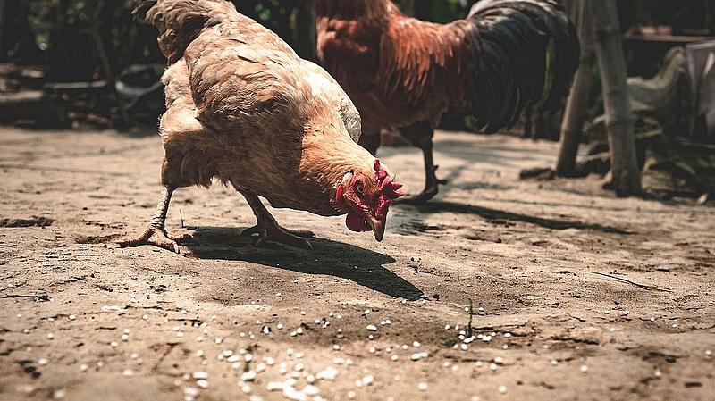 Jóval drágább lesz a csirkemellfilé