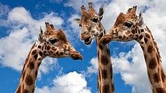 Sokkal nehezebb lesz zsiráfot venni