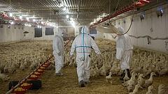 Ki nem találná, hogy mi lesz a madárinfluenzás csirkéből