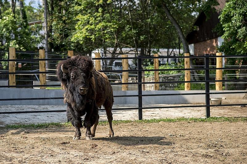Háborítatlanul élnek bölények egy 70 hektáros őrségi területen