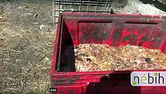 Tiltott moslékkal etették a malacokat - járványveszélyre figyelmeztet a hatóság