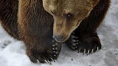 Putyinékat meglátogatta egy gonosz medve