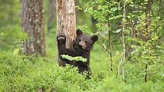 Medve csatangolt Miskolcon