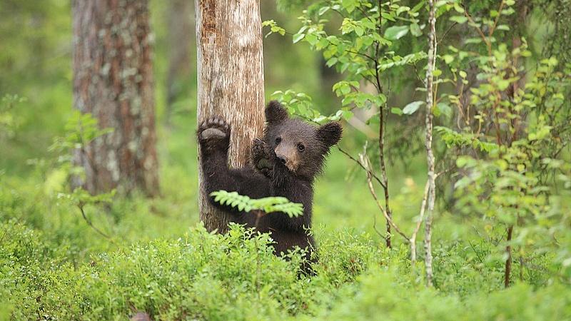 Durvul a szomszédban a medvebűnözés