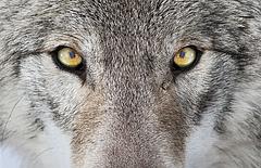 Kirándulók figyelmébe: támadnak a farkasok, nem félnek az embertől