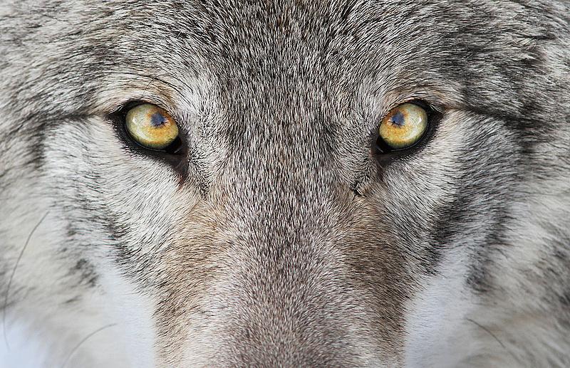A farkas után a medve is visszatér a magyar erdőkbe