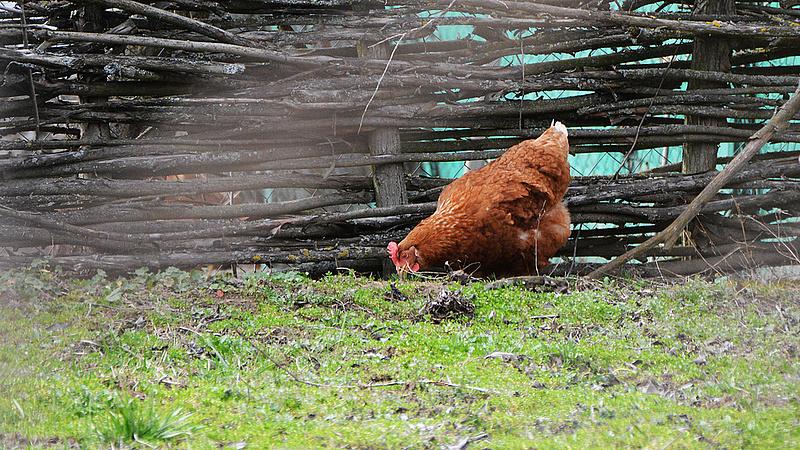 Világító csirkemellet vásároltak - megszólalt a hatóság