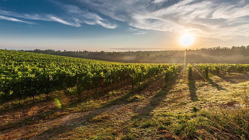 Már szüretelik a magyar szőlőt