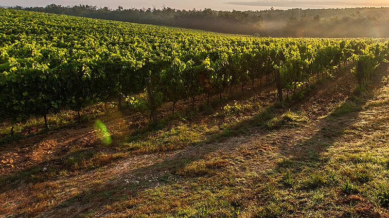 Nagy a baj a magyar borszőlővel - felháborodtak a termelők