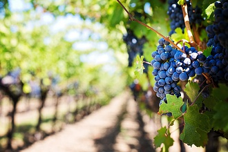 Jól átvészelte a hideget a hazai szőlő