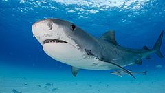 Halálos cápatámadás történt a Kókusz-sziget partjainál