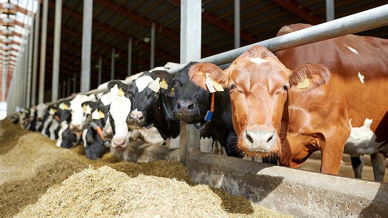 Kizöldülhetnek a tehenek