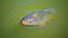 Uniós oltalma már van a balatoni halnak
