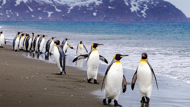 Elborzasztó hír jött a ma élő, legnagyobb pingvinekről