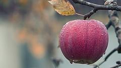 Tüntetés és útlezárás: dupla árat kérnek az almáért