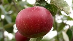 Vészhelyzet van a magyar almapiacon