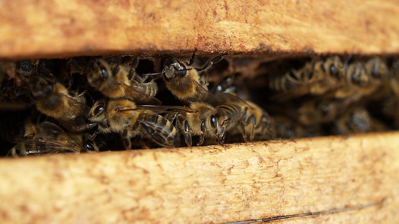 Nagy a baj a méhekkel a déli országrészben