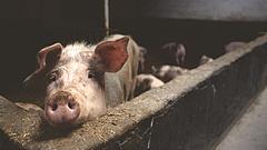 Nyugtatnak: biztonságos a magyar sertéshús