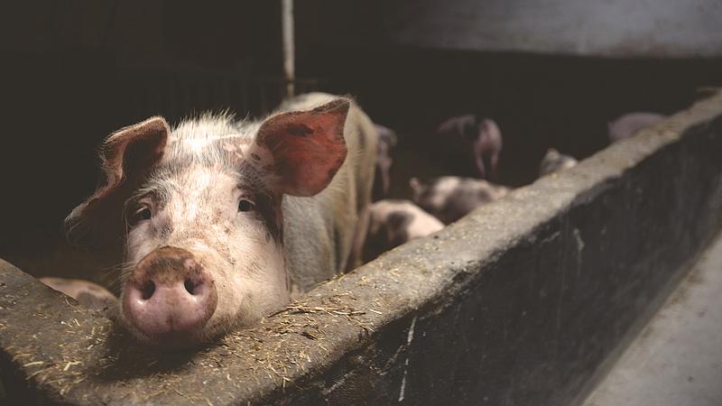 Minden sertéshúst felszív a piacról Kína