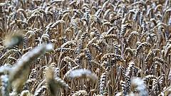 Így alakul a gabonafélék adózása - az iparágban is örülnek
