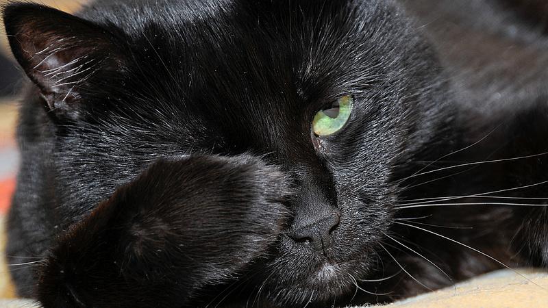 Százával pusztulnak a macskák gombafertőzött száraztápok miatt a briteknél