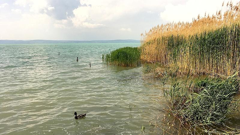 A nádasok irtása végveszélybe sodorhatja a Balatont