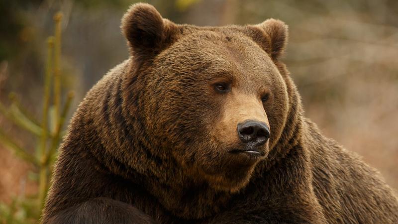 Most Bákó megyében ölt embert egy medve