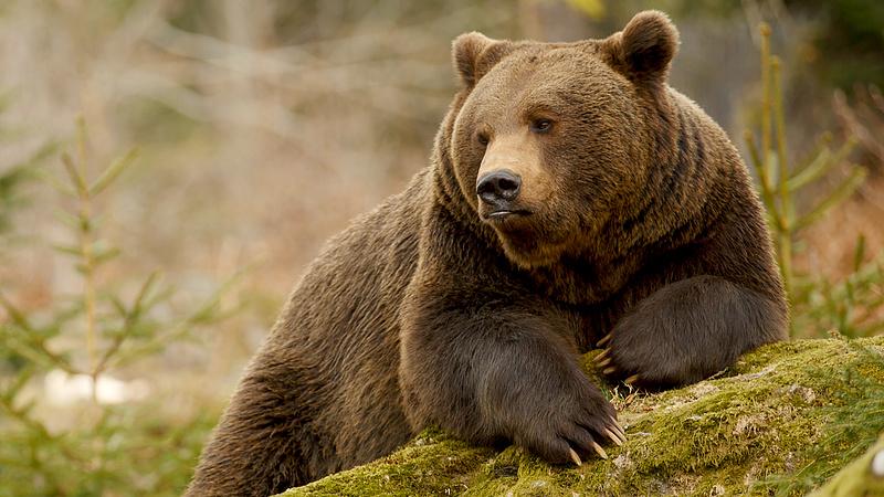 Putyin felkereste az igazi orosz medvét